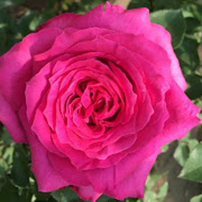 Bliss Cerise Garden RosesFor Weddings, Events and DIY Brides Available at our Florist in Fairfield, NJ