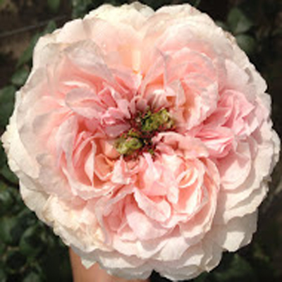 Bridal Tiara Garden Roses for Weddings, Events and DIY Brides, Wedding Florist in Fairfield NJ