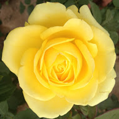Cinder Garden Roses for Weddings, Events and DIY Brides, Wedding Florist in Fairfield NJ