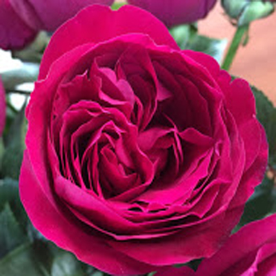Crimson Spell Garden Roses for Weddings, Events and DIY Brides, Wedding Florist in Fairfield, NJ