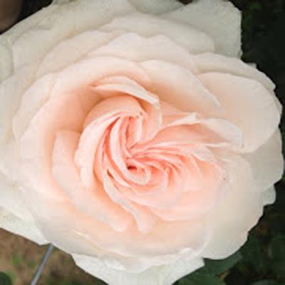 Dream Catcher Garden Roses for Weddings, Events and DIY Brides. Wedding Florist in Fairfield, NJ