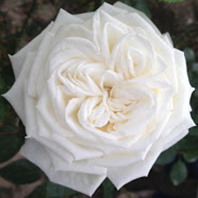 Jeanne Moreau Garden Roses for Weddings, Events and DIY Brides. Wedding Florist in Fairfield NJ