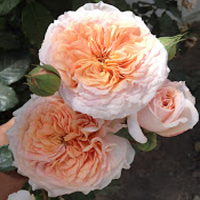 Kirina Garden Roses for Weddings, Events and DIY Brides. Wedding Florist in Farifield, NJ