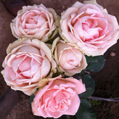 Lea Romantica Garden Roses for Weddings, Events and DIY Brides. Wedding Florist in Farifield, NJ