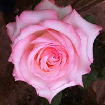 Like A Virgin Garden Roses For Weddings, Events and DIY Brides. Wedding Florist in Fairfield, NJ