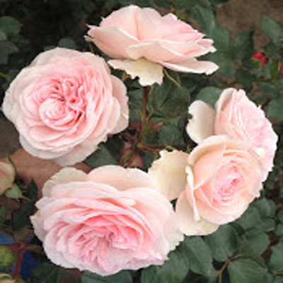 Maria Theresia Garden Roses for Weddings, Events and DIY Brides. Wedding Florist in Fairfield, NJ