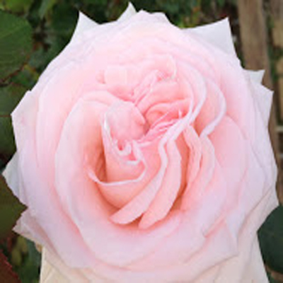 Pink Ohara Garden Roses For Weddings, Events and Diy Brides. Wedding Florist in Fairfield, NJ