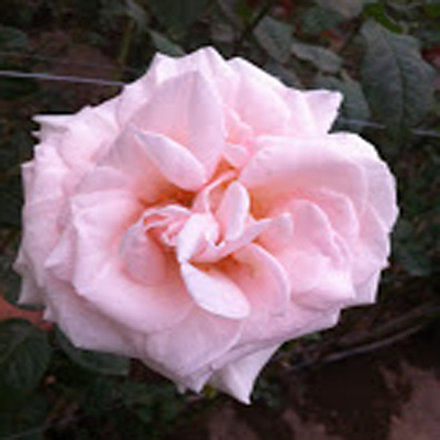 Prince Jardinier Garden Roses for Weddings, Events and DIY Brides. Wedding Florist in Fairfield, NJ