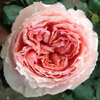 Salmanazar Garden Roses for Weddings, Events and DIY Brides. Wedding Florist in Fairfield, NJ