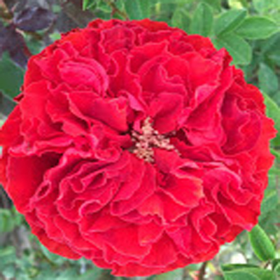 Samarcanda Red Garden Roses for Weddings, Events and DIY Brides. Wholesale Florist in Fairfield, NJ