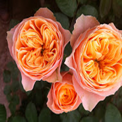 Vuvuzela Garden Roses at Wholesale Prices for Weddings, Events and DIY Brides