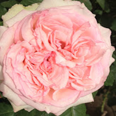Wedding Kiss Garden Roses for Weddings, Events and DIY Brides, Florist in Fairfield, NJ