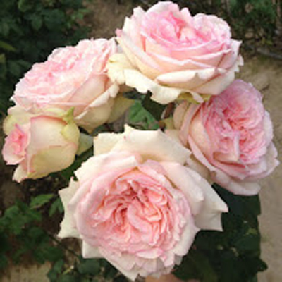 Wedding Romantic Garden Roses for Weddings, Events and DIY Brides. Wedding Florist in Fairfield NJ