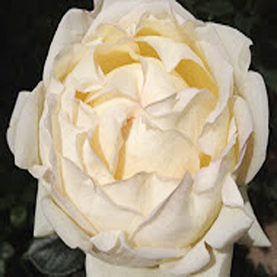 Helga Piaget Garden Roses For Weddings, Events and DIY Brides. Wedding Florist in Fairfield, NJ