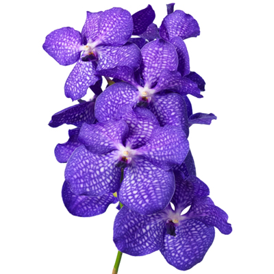 Vanda Magic Blue for Weddings, Events and DIY Brides. Wedding Florist in NNJ
