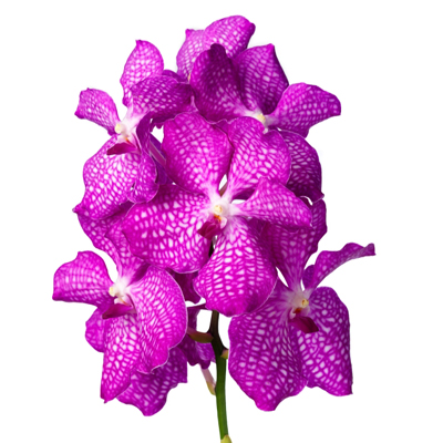 Vanda Magic Pink for Weddings, Events and DIY Brides. Wedding Florist in NNJ