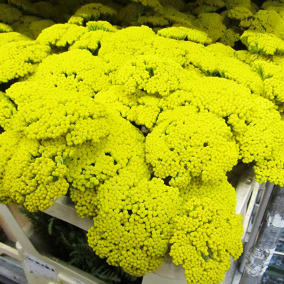 Yarrow Achillea Park for Weddings, Events and DIY Brides. Wedding Florist Serving Bergen, Essex, Hudson Counties and all of the Tri State Area