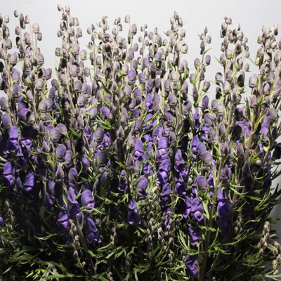 Monkshood Aconitium Napellus for Weddings, Events and DIY Brides. Wedding florist serving Northern New Jersey and NYC