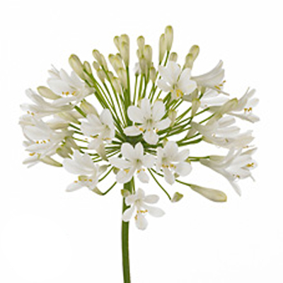 Agapanthus Polar Ice for Weddings, Events and DIY Brides. Wedding Florist Serving New Jersey and New York City