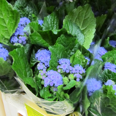 Ageratum Blue Horizon for Weddings, Events and DIY Brides. Wedding and Event Florist Serving New Jersey and New York City