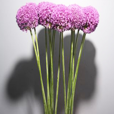 Allium Ambassador Wholesale to the Public, DIY Weddings and Events