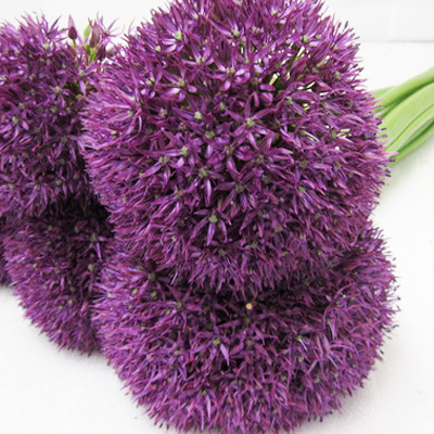 Allium Giganteum Wholesale to the Public, DIY Weddings and Events