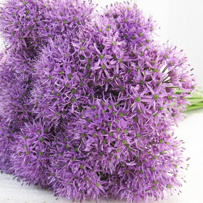 Allium Gladiator Wholesale to the Public, DIY Weddings and Events