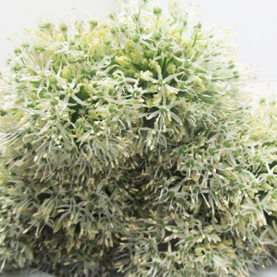Allium Mount Everest Wholesale to the Public, DIY Weddings and Events