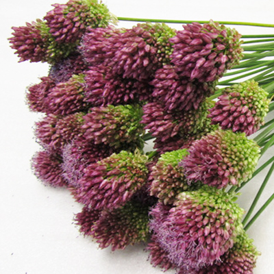 Allium Sphaerocephal Wholesale to the Public, DIY Weddings and Events