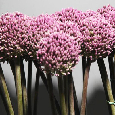 Allium Summer Drummer Wholesale to the Public, DIY Weddings and Events