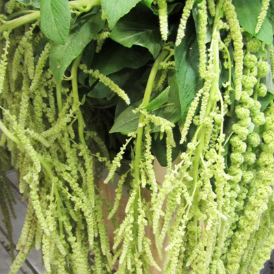 Amaranthus Hanging Green for Weddings, Events and DIY Brides. Wedding Florist in Fairfield NJ