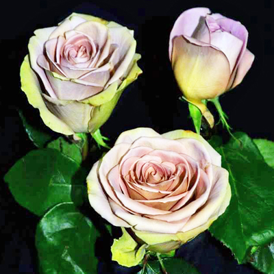 Amnesia Roses Wholesale to the Public, DIY Weddings and Events