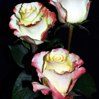 Aubade Roses Wholesale to the Public,DIY Weddings and Events