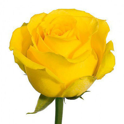 Bikini Roses Wholesale to the Public, DIY Weddings and Events