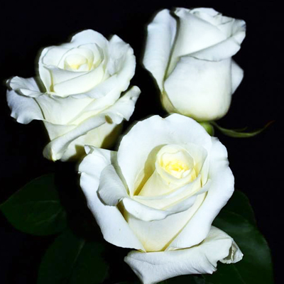 Blizzard Roses Wholesale to the Public, DIY Weddings and Events