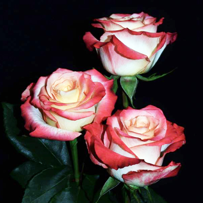 Cabaret Roses Wholesale to the Public, DIY Weddings and Events