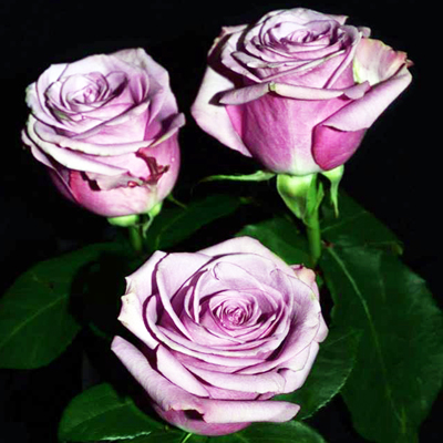 Cool Water Roses Wholesale to the Public, DIY Weddings and Events