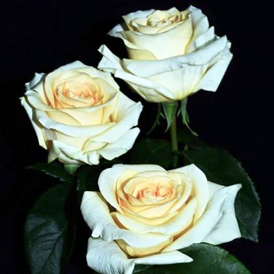 Creme De La Creme Roses Wholesale to the Public, DIY Weddings and Events