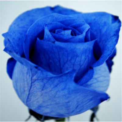 Dyed Blue Roses Wholesale to the Public, DIY Weddings and Events