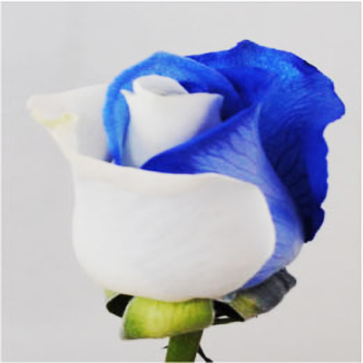 Dyed Blue and White Roses Wholesale to the Public, DIY Weddings and Events