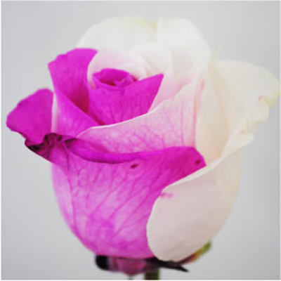 Dyed Pink and White Roses Wholesale to the Public, DIY Weddings and Events