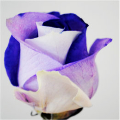 Dyed Purple and White Roses Wholesale to the Public, DIY Weddings and Events