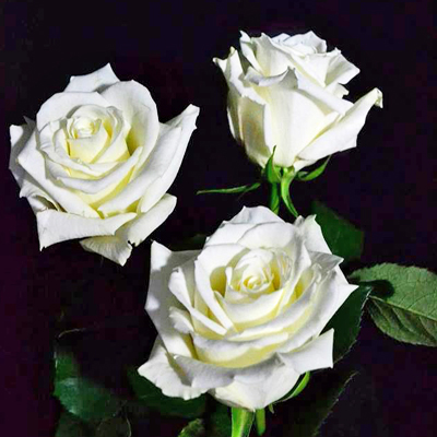 Eskimo Roses Wholesale to the Public, DIY Weddings and Events