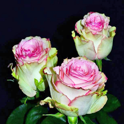 Esperence Roses Wholesale to the Public, DIY Weddings and Events