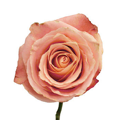 Fado Roses Wholesale to the Public, DIY Weddings and Events