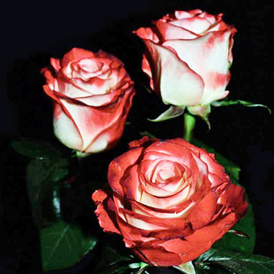 Farfalla Roses Wholesale to the Public, DIY Weddings and Events