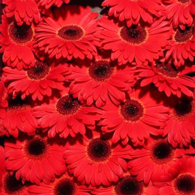Gerbera Bellezza for Weddings Events and DIY Brides. Wedding Florist in Fairfield NJ
