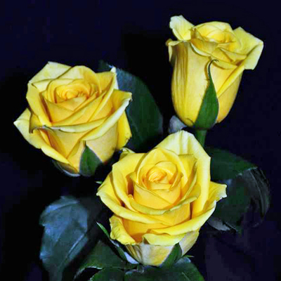 Gold Strike Roses Wholesale to the Public, DIY Weddings and Events