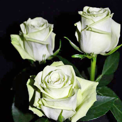 Green Tea Roses Wholesale to the Public, DIY Weddings and Events
