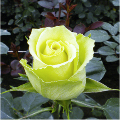 High and Arena Roses Wholesale to the Public, DIY Weddings and Events